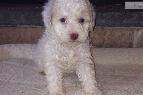 lagotto romagnolo puppies for sale lagotto romagnolo puppy for sale near binghamton new york 38474e60 f721
