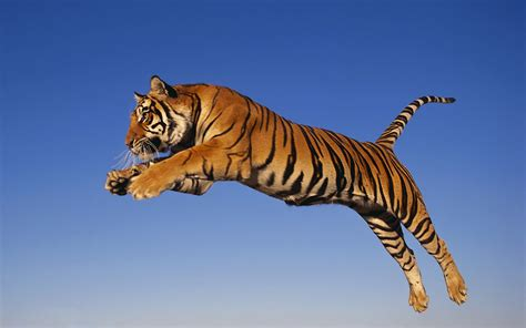 the tiger who would tiger facts history useful information and amazing pictures