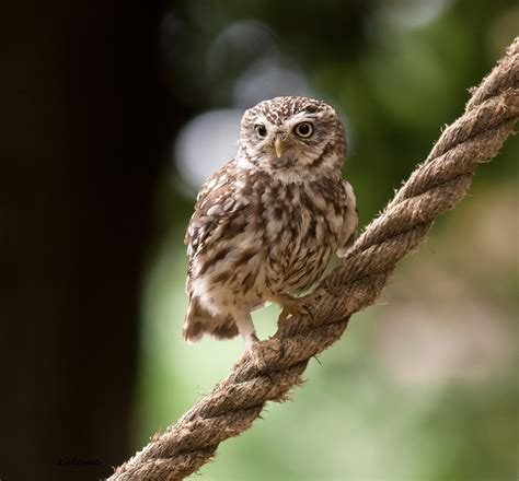 little owl and tawny owl talk photography