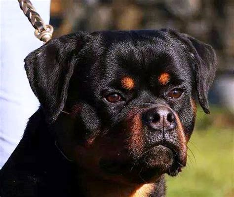 how do rottweilers live for home meisterhunde rottweilers high quality german rottweiler breeder geelong