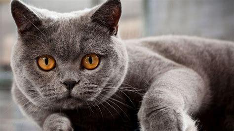 wallpaper blue cat russian blue cat wallpaper 19793