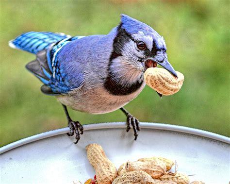 blue jay birds wiki fandom powered by wikia