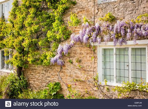 training wisteria vines to wall apricot tree trained up stone wall with wisteria in aynho