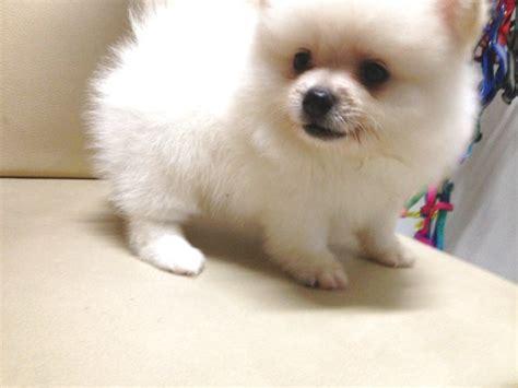 white teddy pomeranian pomeranian puppy sold 2 months white pomeranian thick fur teddy from klang kuala