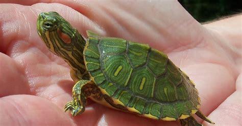 Tempat Kura Kecil cara merawat kura kura kecil