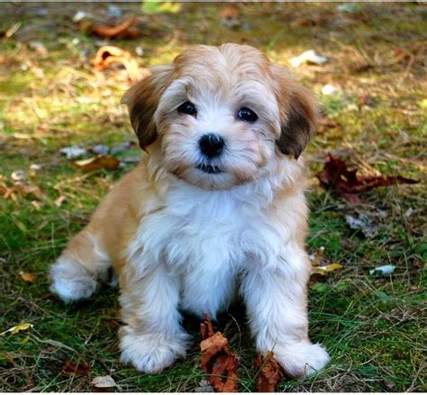 havanese colors havanese puppy in and white colors jpg 3 comments