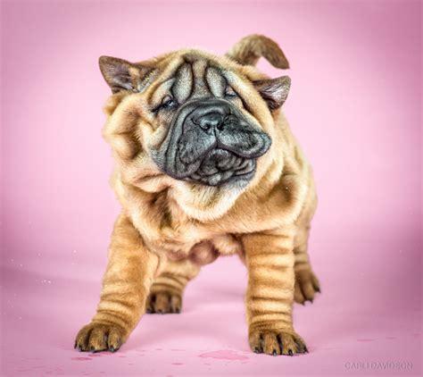 pics of puppies shake puppies carli davidson