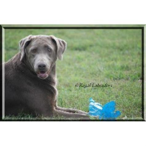 silver lab puppies washington regal labradors llc labrador retriever breeder in marysville ohio