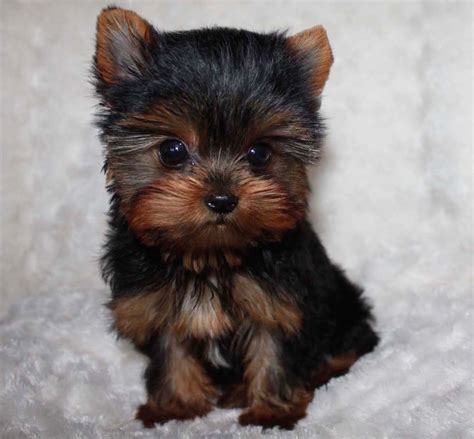 tiny yorkies tiny teacup yorkie puppy iheartteacups
