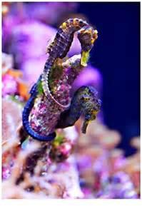 colorful seahorse vibrant seahorses creatures