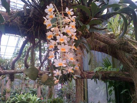 orchideeen hoeve hangende orchideeen luttelgeest fijnuitnl