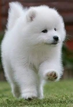 samoyed puppies for sale ny 25 best ideas about samoyed puppies for sale on siberian samoyed
