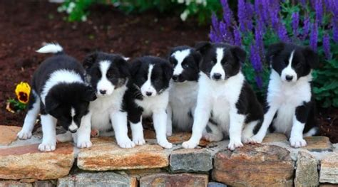 border collie puppies for sale in pa 89 best ᏴᎾᎡᎠᎬᎡ ᏟᎾᏞᏞᏆᎬ images on puppies for sale
