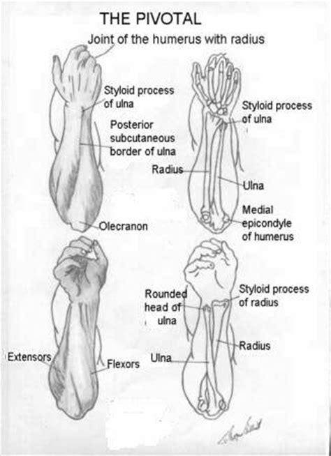 sections of the arm wetcanvas artsschool online basic anatomy l7