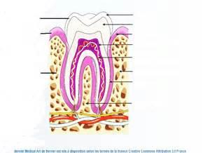 coupe transversale de la dent