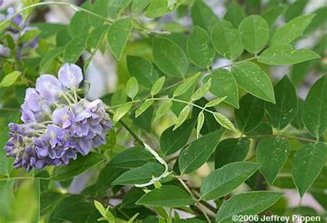 wisteria frutescens american wisteria go botany