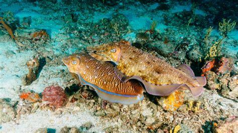 mating cuttlefish at richelieu - Similan Islands