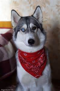 different eyes dog pictures