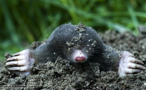 mole animal wildlife