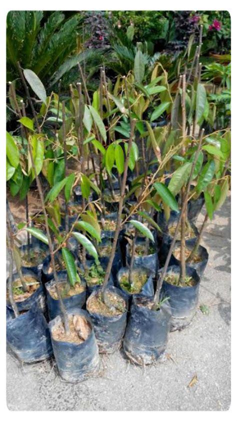 Benih Durian Udang Merah cita tani nursery ns0154959 benih durian udang merah