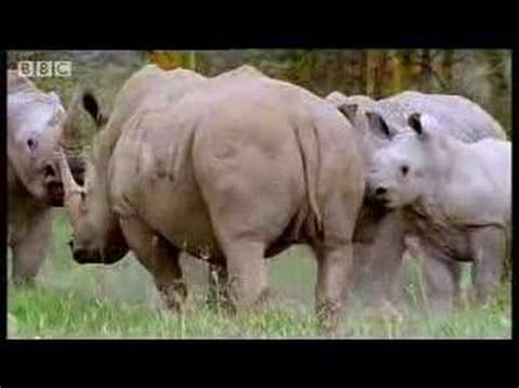 african mating ritualsvideos rhinos look for love animal mating rituals in the african