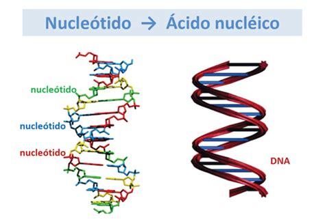 cuantas cadenas de adn tiene el humano opiniones de acido nucleico