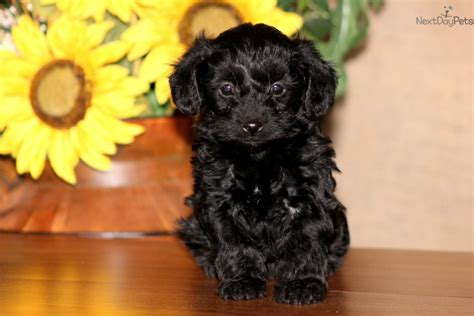 black yorkie poos yorkie poo black brown breeds picture