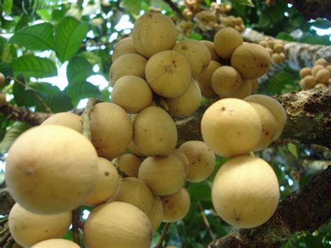 duku fruit tree duku tropical fruits malaysia travel vacation and tourism