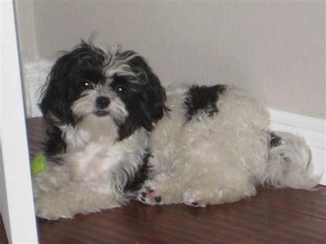 black maltese puppies maltese blogs breeds picture