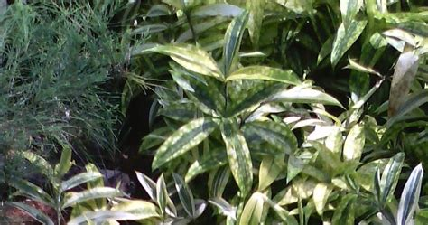 jual pohon dracena golden tanaman hias tanaman indoor
