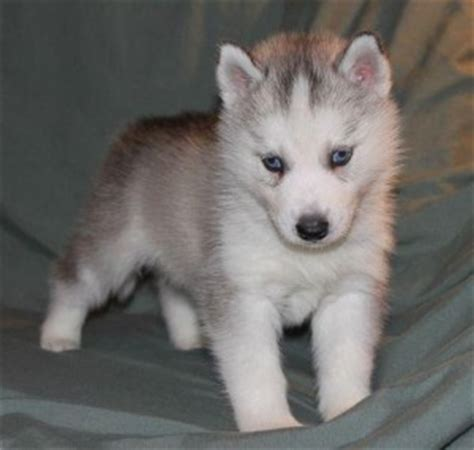 teacup husky puppies for sale the gallery for gt husky teacup grown