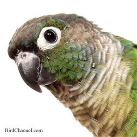 how do you if your is sick 34 best green cheek conures images on