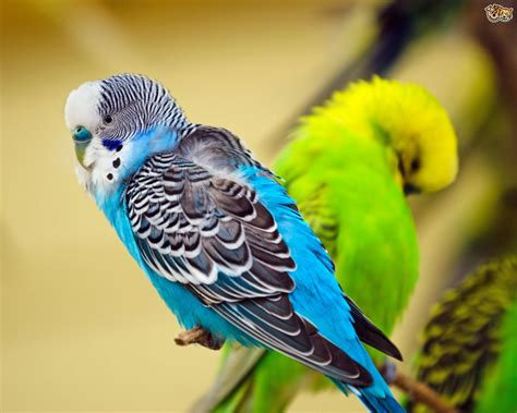 budgie colors budgerigar colors