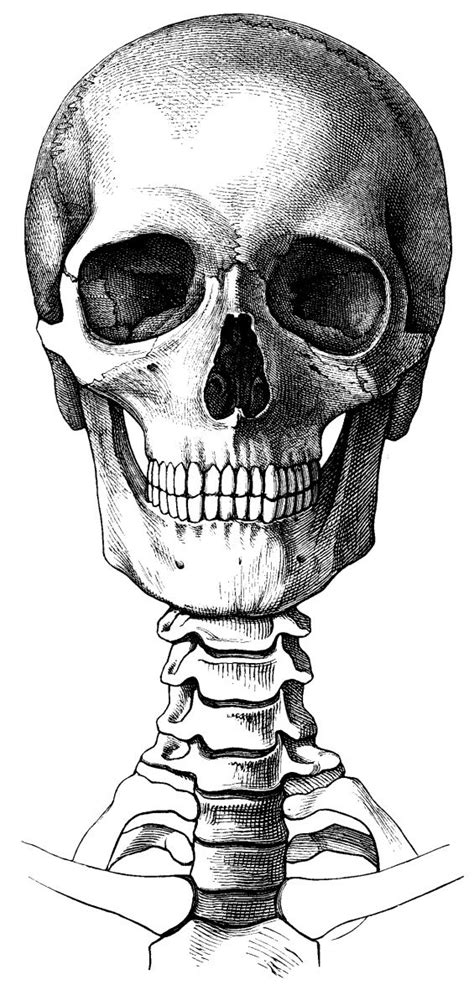 Crane Vanité by Crane Vanity Anatomie Squelette Et Dessin