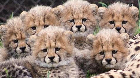 cheetah cub of six cheetah cubs will make your day