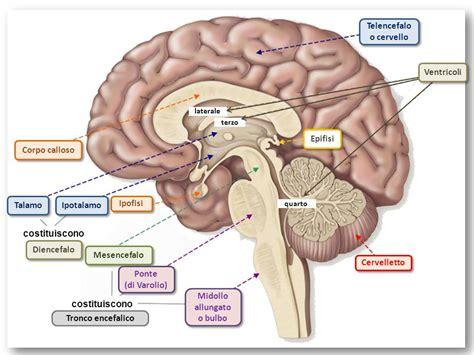 pavimento quarto ventricolo il sistema nervoso ppt scaricare