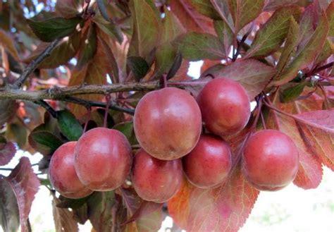 prunus cerasifera specie della flora italiana