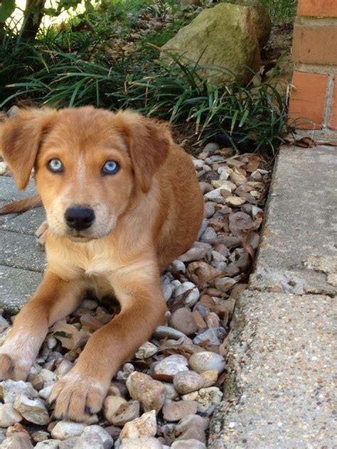 miniature golden retriever australia 61 best images about our hearts been rescued on standard