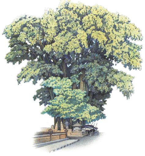 elm tree meaning 100 elm tree meaning chinese elm bonsai tree ulmus
