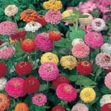 Benih Bibit Biji Cleome Colour Mixed Seeds Import benih melon honey rock
