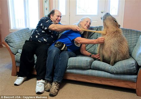 largest couch in the world capybara capers cute overload