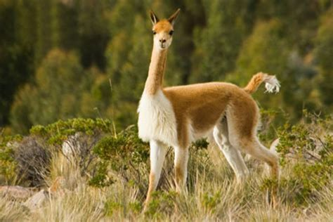 vicuna animal images