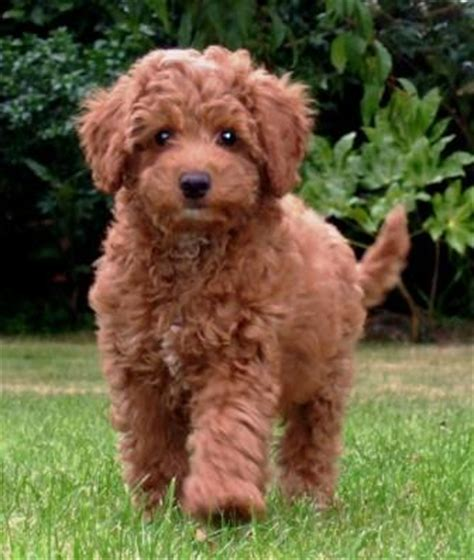 australian labradoodle puppies for sale miniature australian labradoodles for sale breeds picture