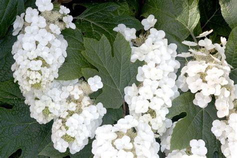 best hydrangeas for beginners to grow espoma
