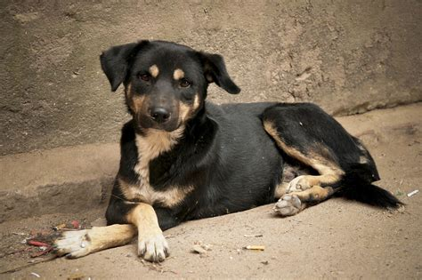 puppy finder rescue search and rescue dogs in nepal borgen