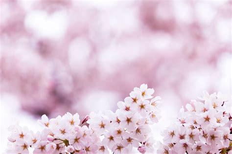 imagenes flores de cerezo definici 243 n de flor de cerezo qu 233 es y concepto