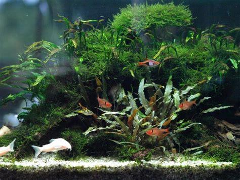 why is my fern dying is my fern dying dying java fern aquaticquotient com photo