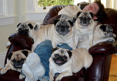 frisco pugs pug dogs pic