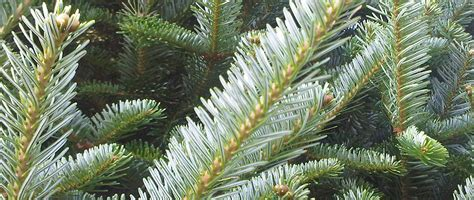environmentally friendly christmas tree eco friendly tree tree farm