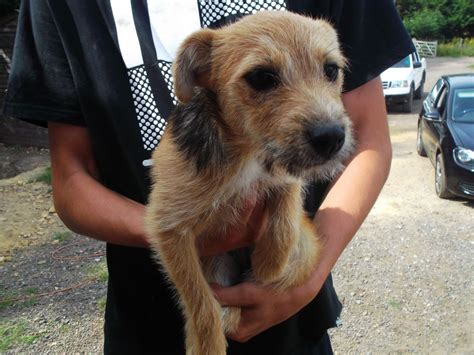 pomeranian x terrier pomeranian x terrier liphook hshire pets4homes